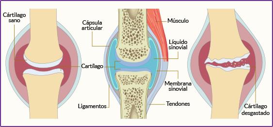 Cuál es la función del cartílago articular? - Río Grande Plus
